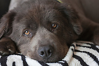 gray chow labrador dog resting on a blanket at home