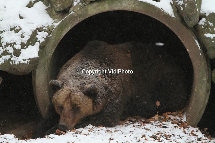 Foto: VidiPhoto..RHENEN - De beren in Het Berenbos van Ouwehands Dierenpark in Rhenen zijn of gaan deze week  in winterrust. Sneeuw en kou zorgen er voor dat de tien beren van het park diep in hun hol duiken. Hoewel... Sommige beren blijven een half oogje in het zeil houden en halen wat te eten of een frisse neus..