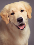 Expressive closeup portrait of a beautiful Golden Retriever puppy