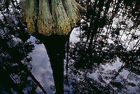Towering bald cypress trees are relfected in black waters of Billys Lake in the Okefenokee Swamp.