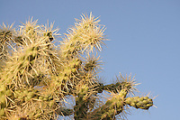 Apache Junction, Arizona. The Lost Dutchman State Park is located in the area of the Superstition Mountains in the Sonoran Desert, 40 miles east of Phoenix, Arizona. The park takes its name from a fabled lost gold mine. This photograph shows cholla cacti which are found in all of the hot deserts of the American Southwest. They are covered with spines. Photo by Eduardo Barraza © 2011