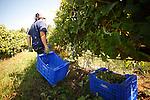 Viñedos de la Bodega Terras Gauda en pleno proceso de recoleccion.
