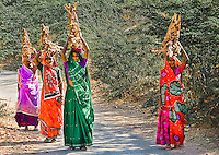 Rajasthani women with colorful saris carrying firewood in rural India. (Photo by Matt Considine - Images of Asia Collection)