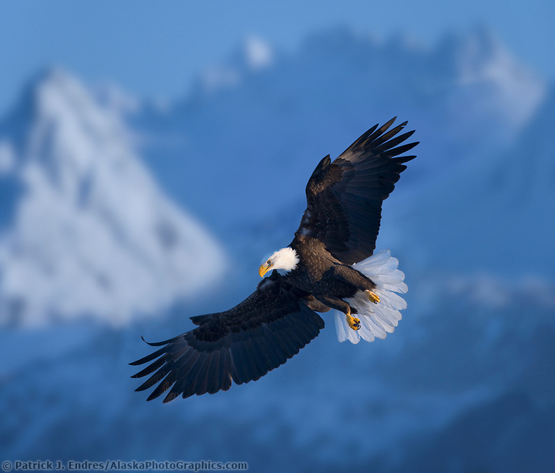 DIGITAL COMPOSITE: Bald Eagle, Homer, Southcentral Alaska
