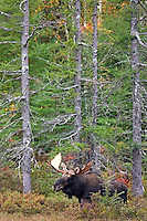 #M37 Bull Moose in Trees