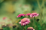Photograph of pink flowers with shallow depth of field