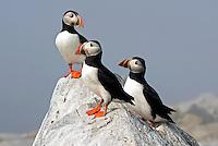 Atlantic Puffin Trio on Rock  #P47