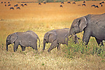 Elephant With Sub Adults