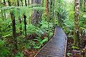 Wooden boardwalk in Kauri forest, Trounson Kauri Park, Northland, North Island, New Zealand