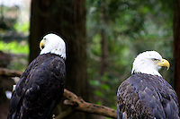 A Pair of Bald Eagles in the Northwest Trek Wildlife park scanning the scene.