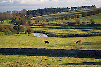 Cows graze by River Windrush, Swinbrook, Oxfordshire,  UK