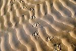 Seagull tracks in desert sand at the Lagoon Khenifiss (Lac Naila), Atlantic coast, Morocco.