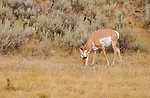 Pronghorn Female, Lava Creek, Yellowstone National Park, Wyoming