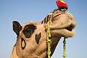 Decorated camel at Pushkar camel fair; .The annual Pushkar camel fair is one of the main tourist attractions in India, Pushkar, Rajasthan, India