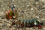 The peacock mantis shrimp, Odontodactylus scyllarus, also known as the harlequin mantis shrimp or painted mantis shrimp is a large mantis shrimp native to the Indo-Pacific from Guam to East Africa. Mantis shrimp or stomatopods are marine crustaceans, the members of the order Stomatopoda. They are neither shrimp nor mantids, but receive their name purely from the physical resemblance to both the terrestrial praying mantis and the shrimp.