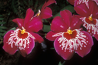 Waterfall Pansy Orchid: Miltonia Dennis Kleinbach hybrid Miltoniopsis