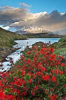 Blooming firebush and clouds over Grande Paine summit, Pehoe lake, Patagonia, Torres del Paine National Park and Biosphere Reserve, Chile
