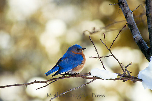 Eastern bluebird, Sialia sialis, perched on branch of tree with unexpected snow at the end of winter