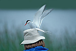 Arctic Tern .Sterna paradisaea.Girdwood, ALASKA, United States.June     Adult attacking human near nest.       Laridae