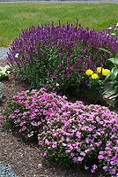 Dianthus mixture variety, Salvia, marigold Tagetes flowers