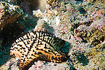 Beagle Rock, Galapagos, Ecuador; a Chocolate Chip Sea Star (Nidorellia armata) or star fish, sits on the rocky reef , Copyright © Matthew Meier, matthewmeierphoto.com All Rights Reserved