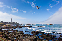 With the Pigeon Point Lighthouse in the background, a gull flies past against a blue sky and clouds.