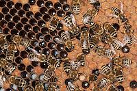 Honigbiene, Bienen auf ihren Waben, versorgen Larve, Larven, Made, Maden in den Waben, Imkerei, Imker, Honig-Biene, Biene, Apis mellifera, Apis mellifica, honey bee, hive bee