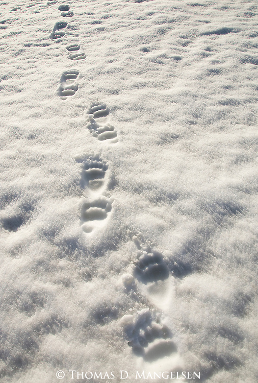 Paw prints of a grizzly bear in the snow in Grand Teton National Park, Wyoming.