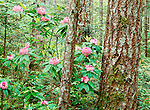 Pacific rhododendron, Olympic National Park, Washington