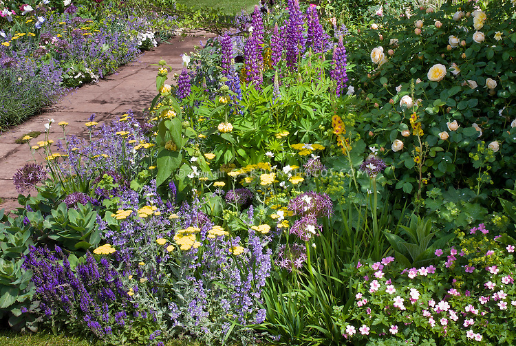 Lupinus, Iris, Allium, Nepeta, Salvia, geranium, mostly blue purple lavender color theme garden with touches of yellow in Achillea and Phlomis and roses, in late spring or early summer garden, with garden path walkway