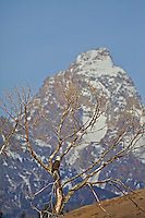 Bald Eagle perched in cottonwood tree below the Grand Tetons in Grand Teton National Park