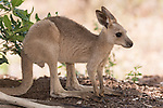 Undara Volcanic National Park, Queensland, Australia; a young adult joey Eastern Grey Kangaroo (Macorpus giganteus) resting under the shade of a bush, hiding from the hot afternoon sun