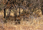 A Leopard's spotted coat helps it blend into its environment in Kruger National Park, South Africa