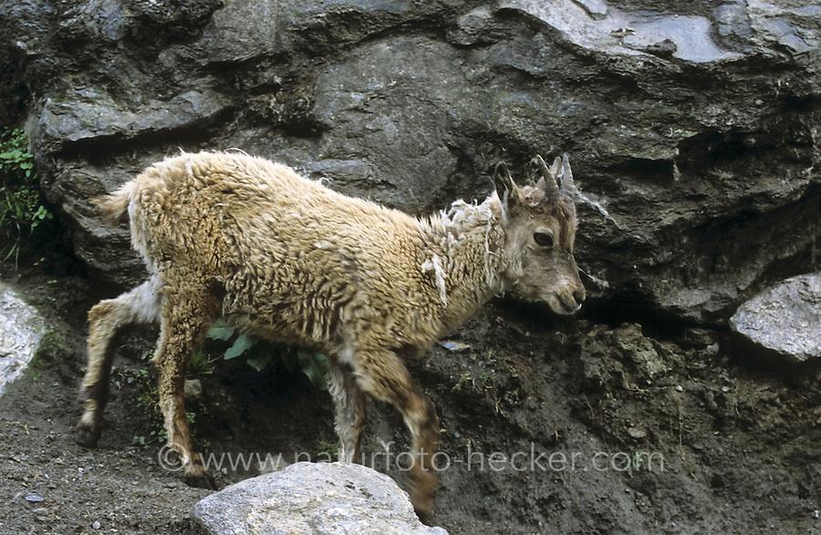 Alpen-Steinbock, Alpensteinbock, Steinbock, Jungtier, Geiss, Geiß, Capra ibex, alpine ibex