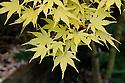 Acer palmatum 'Senkaki', mid October.