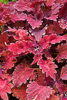 Coleus Juliet Quartermain (Solenostemon) annual foliage plant with lobed ornamental ruby red magenta purple leaves mottled in same tones