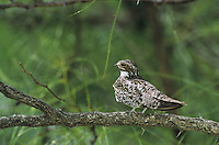 Common Nighthawk, Chordeiles minor, adult on branch, Welder Wildlife Refuge, Sinton, Texas, USA