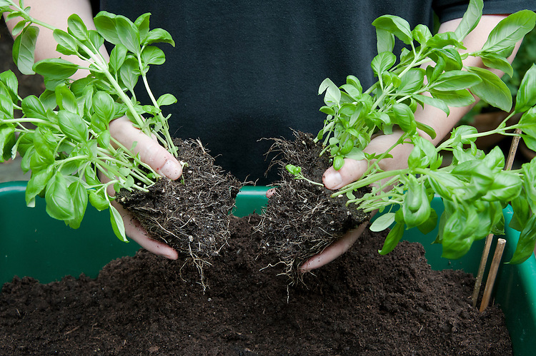 Dividing and re-potting a supermarket-bought basil plant. Image 5 of 10.