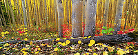 Boreal forest floor, highbush cranberries, aspen trees, golden aspen leaves, Fairbanks, Alaska.