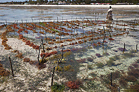 """Jambiani, Zanzibar, Tanzania.  Village woman walks by rows of seaweed planted  by village women.  Three weeks after planting it can be harvested.  After drying, it will be exported to Asia.  The plots can only be tended at low tide.  Women receive about twelve cents per kilo, """"thin and dried."""""""