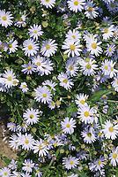 Kalimeris incisa 'Blue Star' in flower showing many flowers