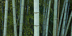 Bamboo, Yoshino, Japan