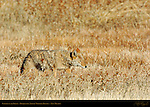 Coyote in the Grass, Bosque del Apache Wildlife Refuge, New Mexico