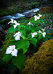 White trillium (Trillium grandiflorum) and spring cascade