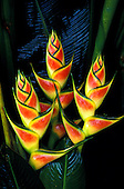 Heliconia (Heliconia wagneriana) flowers against dark green foliage