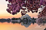 Sunrise on the Potomac at the Tidal Basin.  Cherry Blossoms at The Thomas Jefferson Memorial. <br />