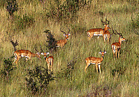 A bachelor herd of IMPALAS (Aepuceros Melampus) - SERENGETI PLAINS NATIONAL PARK, TANZANIA