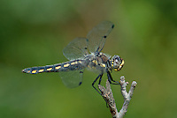 389330011 a wild female hoary skimmer libellula nodisticta perches on a dead twig in fish slough mono county callifornia