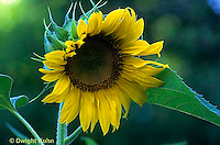 HS13-073c  Sunflower - Helianthus spp