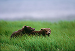 Brown Bear (Ursus arctos), McNeil River State Game Santuary, Alaska, USA <br /> Canon EOS-1N<br /> Canon EF 600mm lens<br /> July 1998